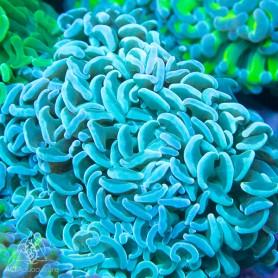 Euphyllia ancora -Wall Hammer Blueish
