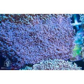 Euphyllia divisa - Wall Frogspawn Purple Pink Tip