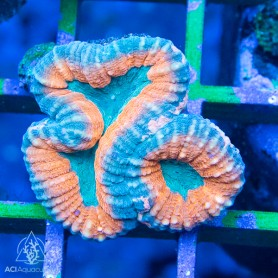 Lobophyllia sp.-Multi-Colored Ultra Neon