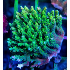 Acropora sp. Ultra Bright