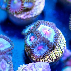 Carribbean Vice 'Coralmorphalogic' Zoanthid