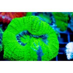 Scolymia australis Croc Island - Neon Green GLO