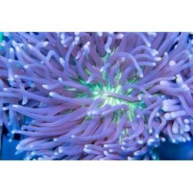 Heliofungia actiniformis-Ultra Long Tentacle Plate