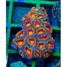 Acan lord - Rainbow