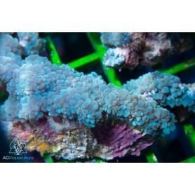 Plerogyra sinuosa - Blueish