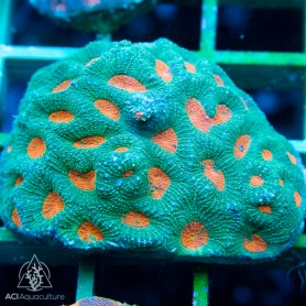 Acan echinata Green w. Neon Orange