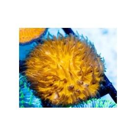 Fungia sp. - Plate Coral Orange