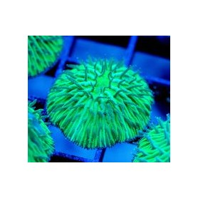 Fungia sp. - Plate Coral Green Neon