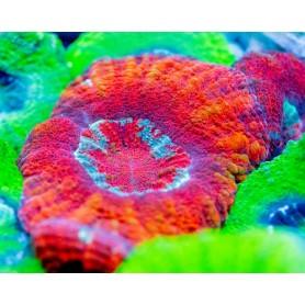 Scolymia australis Croc Island - Red