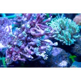 Clauvularia Sp - Clove Polyps