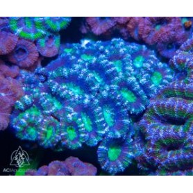 Micromussa lordhowensis - Purple and green (Aus)