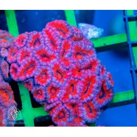 Acan lord - Red bicolor
