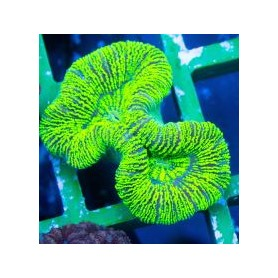 Trachyphyllia geoffroyi - Neon Green Striped