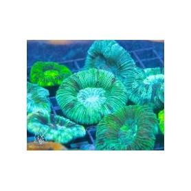 Trachyphyllia geoffroyi - Blue/Lime Green