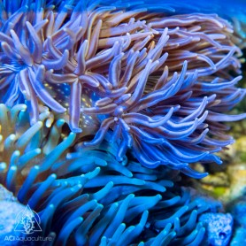 Multi-Color Long Tentacle Anemone